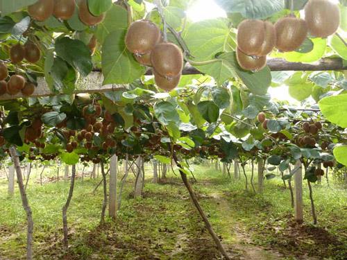 猕猴桃水果基地
